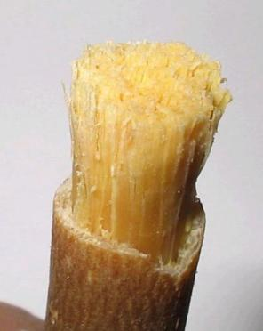 miswak-brush